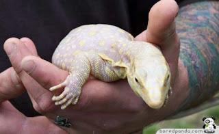 kadal albino