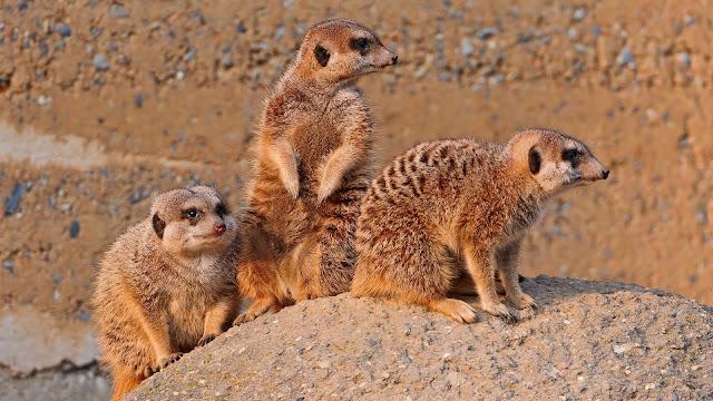 Meerkats Animal