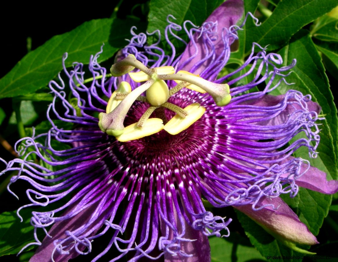 The Passionflower The Sacred Symbol   WishGarden Herbs