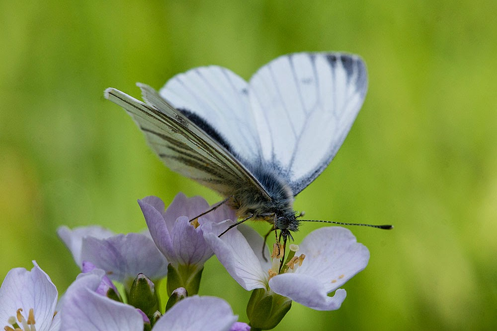 Green-veined White - Loughton Valley Park, Milton Keynes (2014)