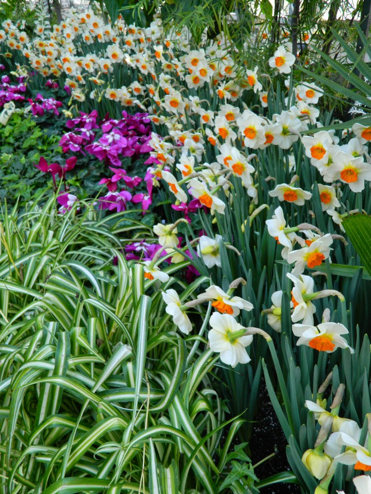 Daffodils and Fleur en Vogue cyclamen Allan Gardens Conservatory 2015 Spring Flower Show by garden muses-not another Toronto gardening blog
