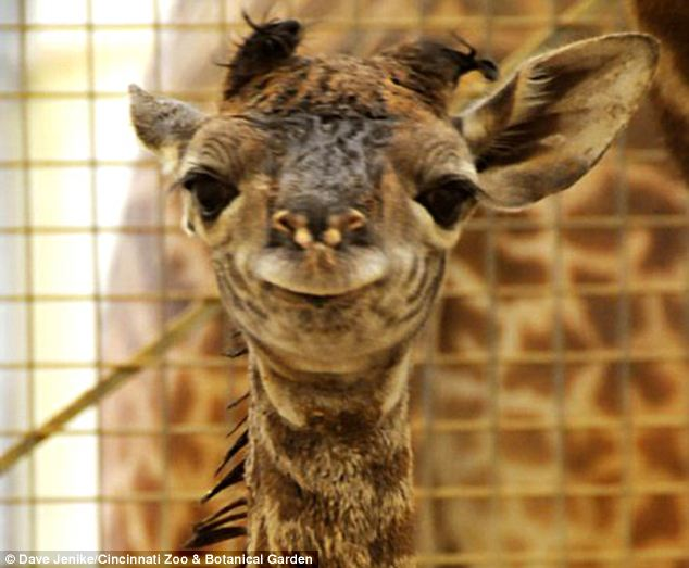 giraffes in captivity Health problems in captive giraffe physiological in captivity giraffes are in small outdoor and indoor enclosures with other unrelated giraffe and their daily.