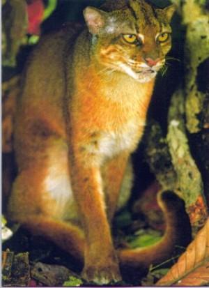 Bornean Bay Cat Xamobox Blogspot Com Relax