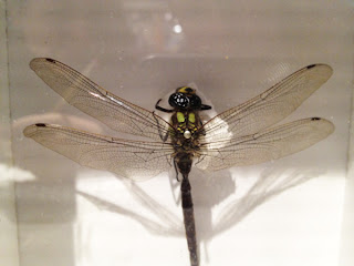 Dragonfly Exhibit - Sketchbook - Grant Museum of Zoology Field Trip London - Arts Award Bronze Level Art Portfolio Ideas