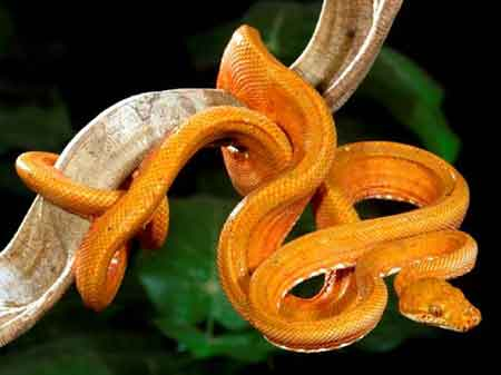 amazon tree boa Amazing Colorful Snakes   Most Beautiful Venomous Snakes of the World