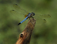 Follow the Piper: DRAGONFLIES