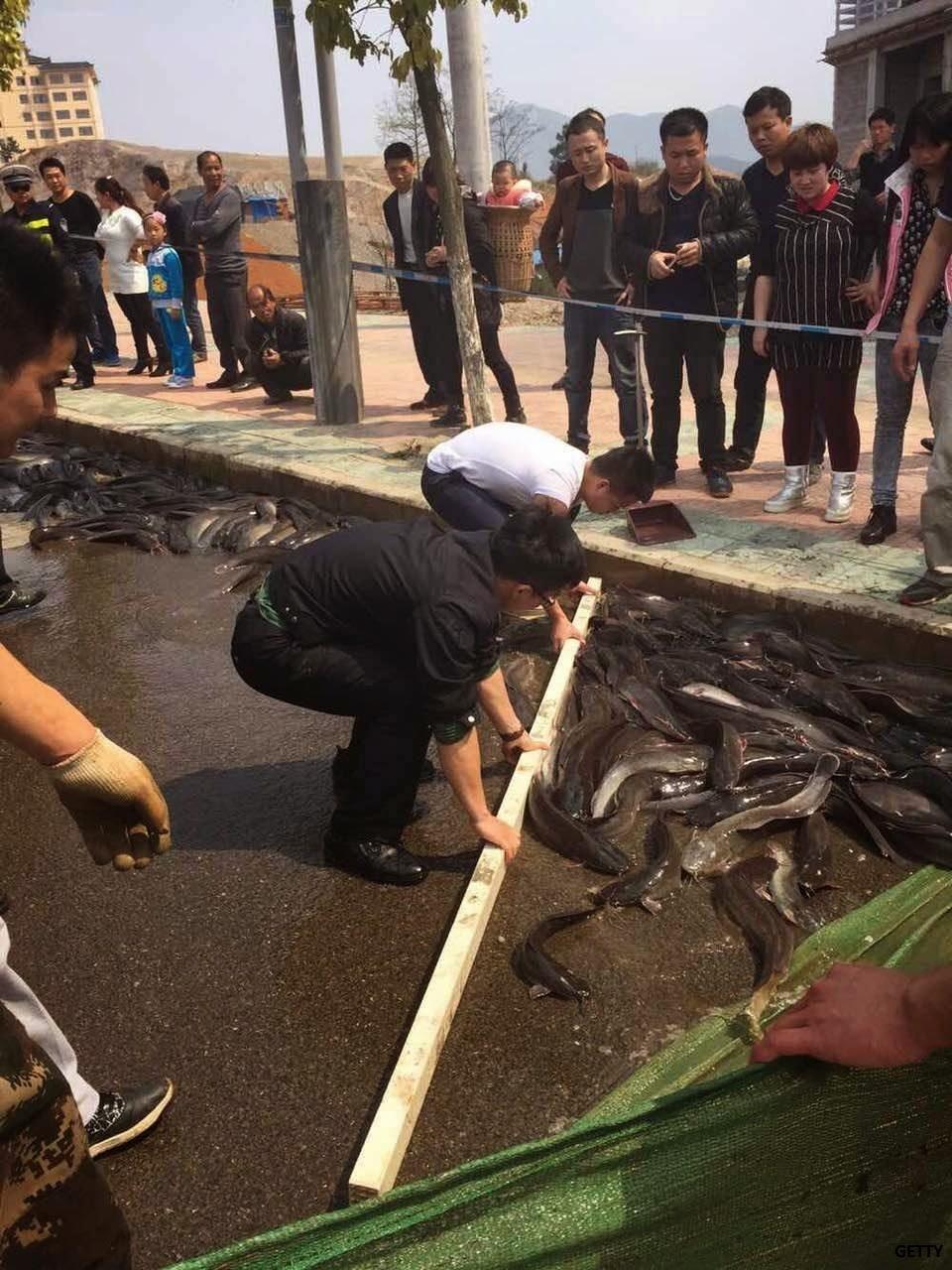 Ikan keli bertaburan di jalan