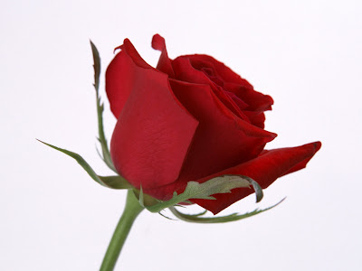 Single Red Rose Flower Wallpaper