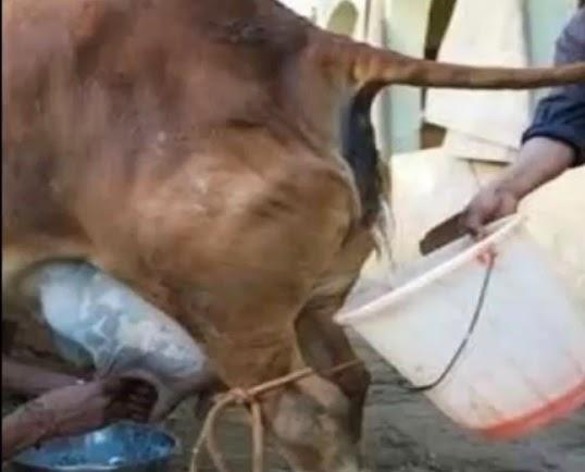 gambar sapi terkena babesiosis-salah satu tanda atau gejala