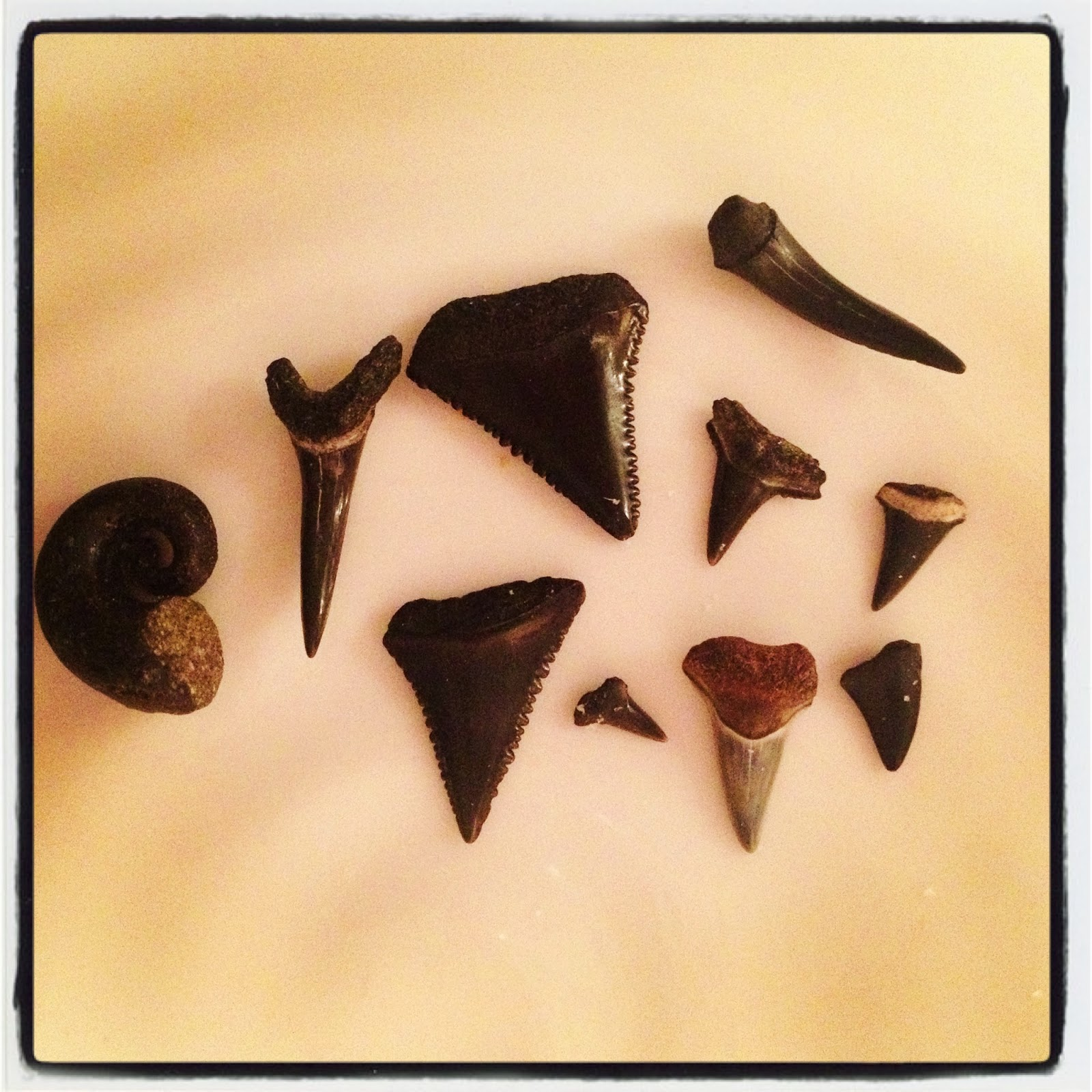 The Hunter And Gatherer Sharks Teeth