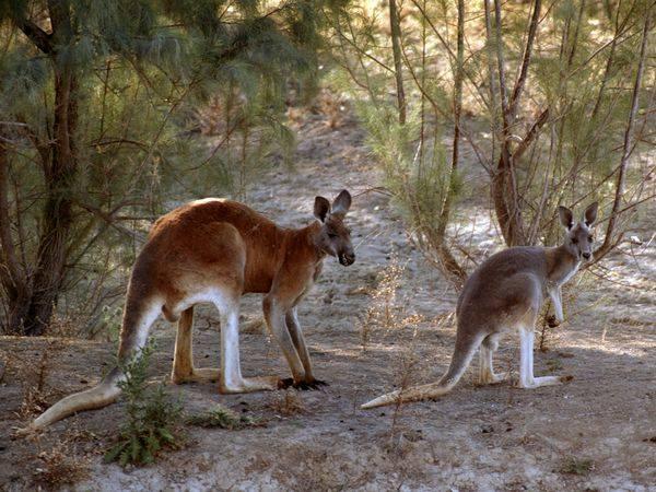Kangroo legs,Kangroo Leap-Kangroo pics,Funny australian Kangroo pictures