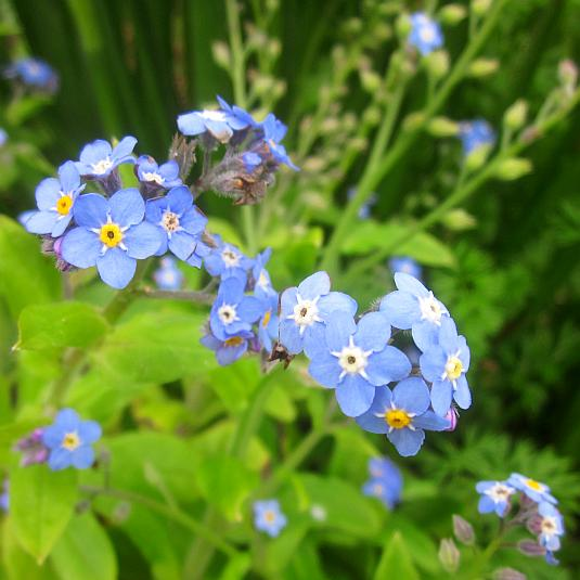 myosotis, victoria blue, forget-me-not