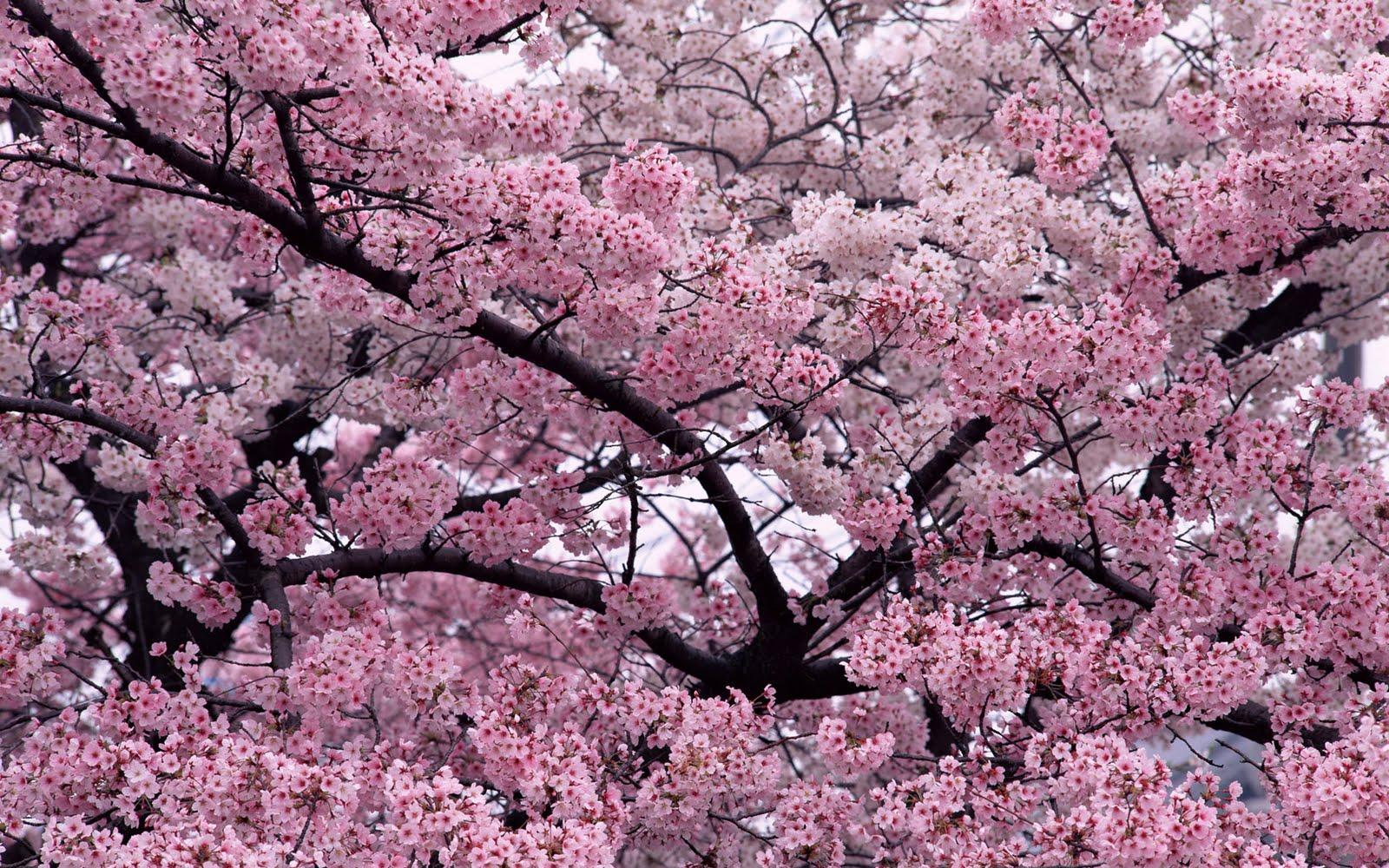 http://3.bp.blogspot.com/-oL2X_geKbzY/TjlH87nklAI/AAAAAAAAAUM/O_-VLpamK7Q/s1600/tree-in-bloom-free_wallpapers.jpg