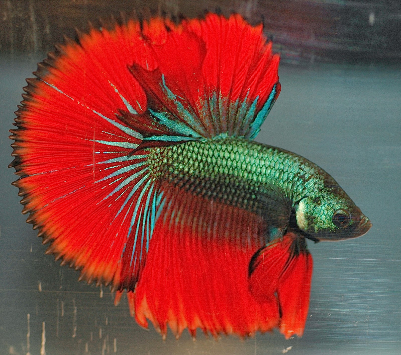 Most beautiful freshwater fish related keywords for Best fish in the world