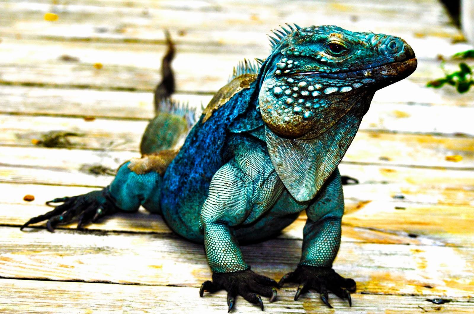 Tony Walton: Blue Iguana - Grand Cayman
