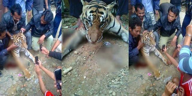 Foto Pembunuhan Harimau Sumatra Tuai Kecaman
