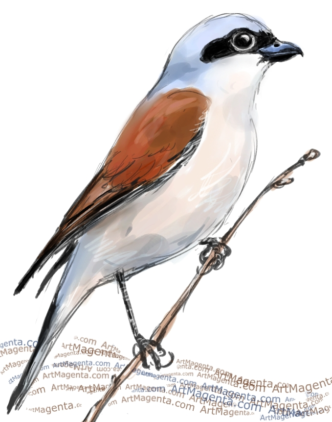 Red-backed Shrike sketch painting. Bird art drawing by illustrator Artmagenta