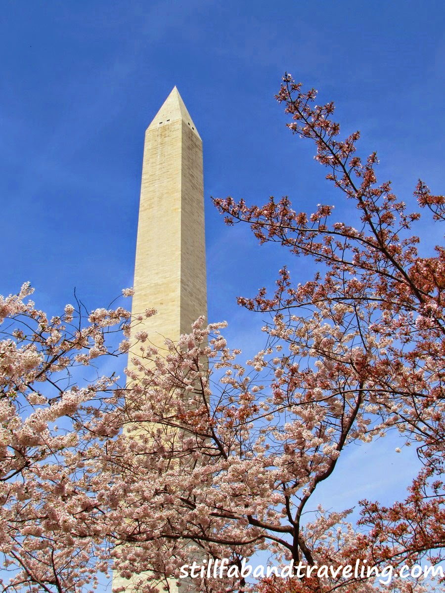 View of the Washington Monument in DC during the Cherry Blossom festival