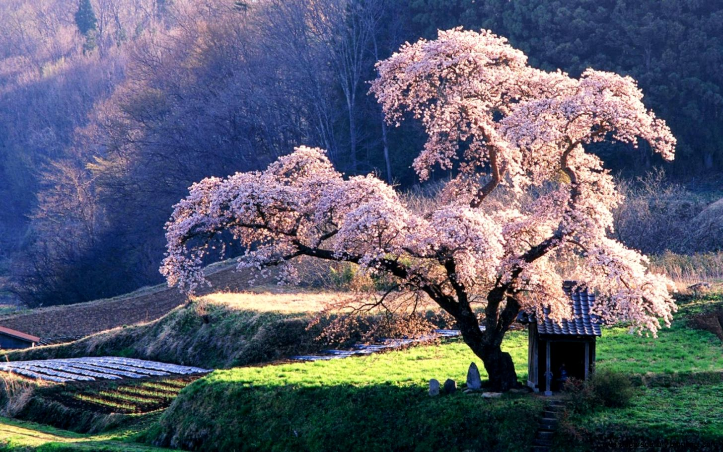 Japanese Cherry Blossom Wallpaper   WallpaperSafari