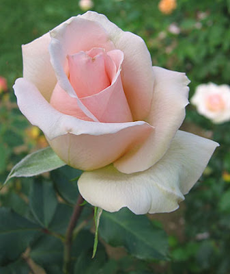 Light Pink Rose Photos