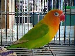 om hoby harga lovebird pastel hijau berdasarkan umur