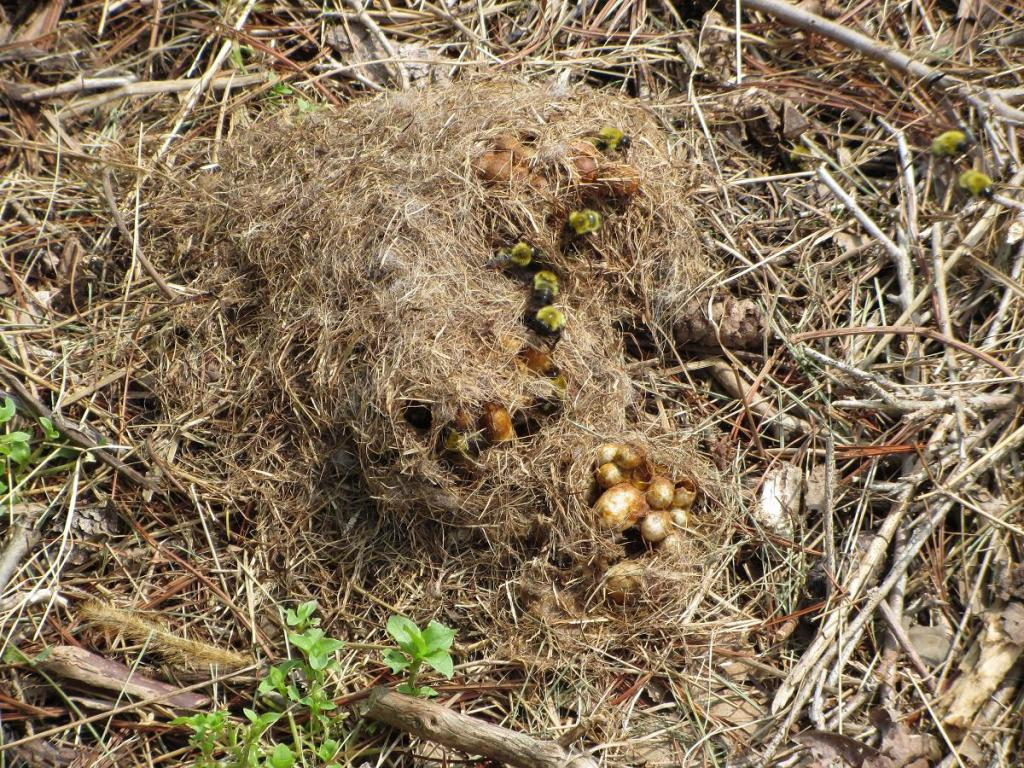 Осиное гнездо: как выглядит. Как избавиться от гнезда ос 76