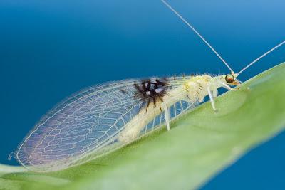 Descubren nueva especie llamada Semachrysa Jade