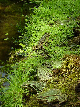 klutje groene kikkers
