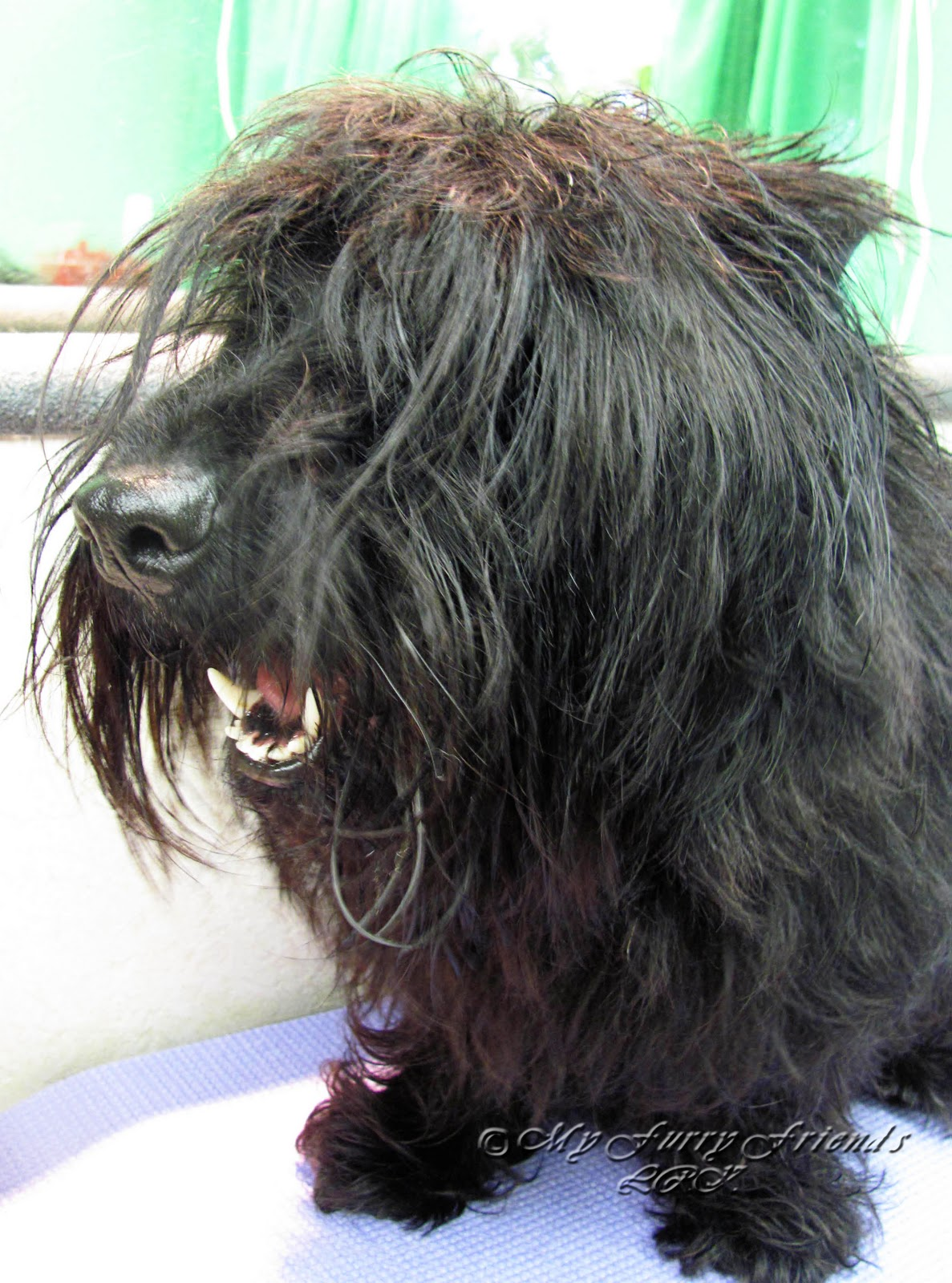 Hair Cuts For A Scottish Terrier | scottish terrier dog