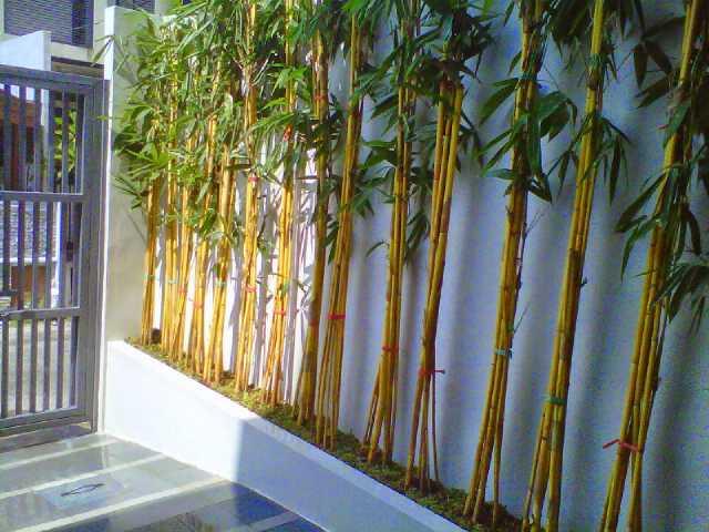 Pohon Bambu Kuning / Panda