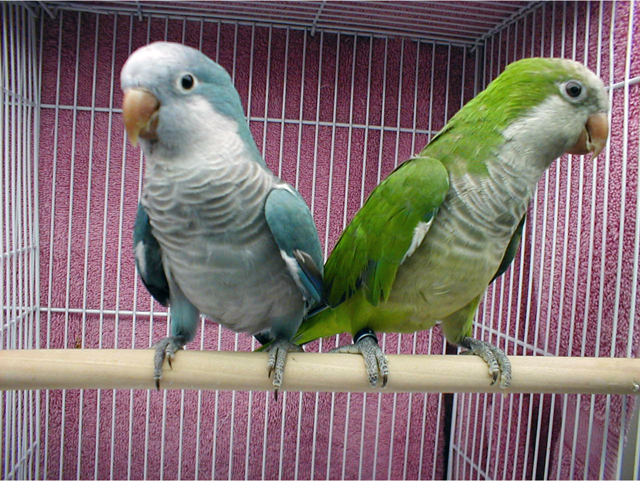 Parrot Pictures To Color