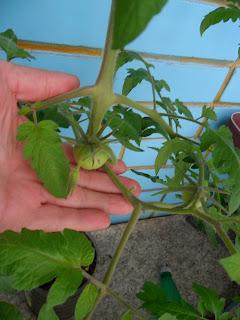 Завязь помидоров, апрель