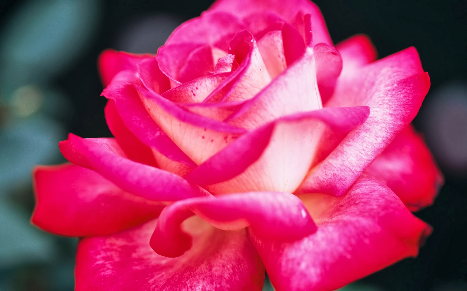 Pink Rose Wallpapers Free Hd Desktop Wallpapers Download