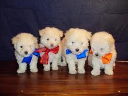 Nombres para perros french poodle macho o hembra | Educa a tu ...