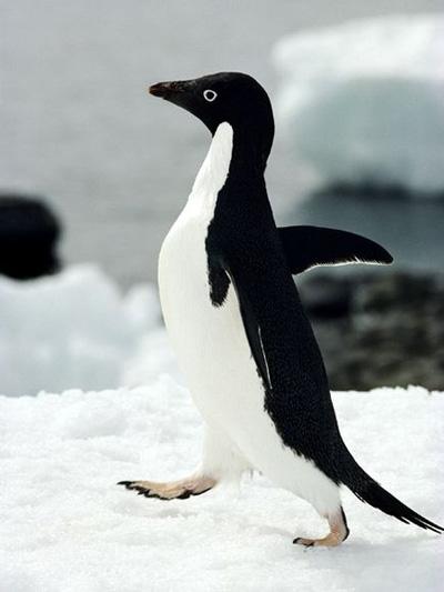 Gambar Pinguin Lucu