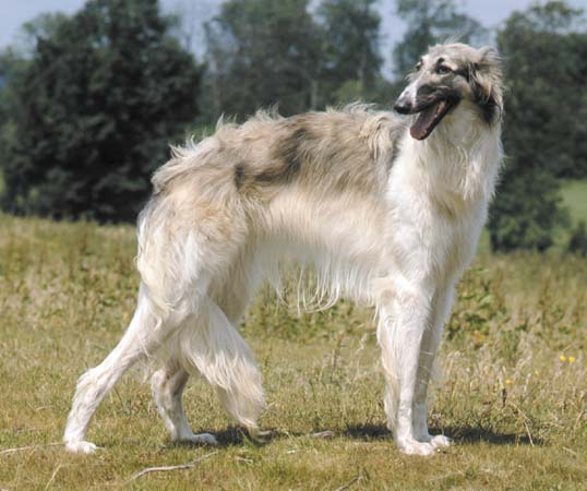 Dog Photo Russian Wolfhound Or Borzoi Dogs