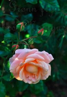Roseblomstring