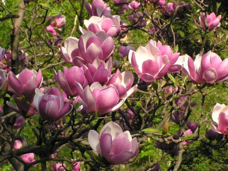 magnolia x soulangeana the garden of eaden. Black Bedroom Furniture Sets. Home Design Ideas