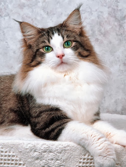 Norwegian Forest Cat History