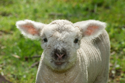 sheep pics