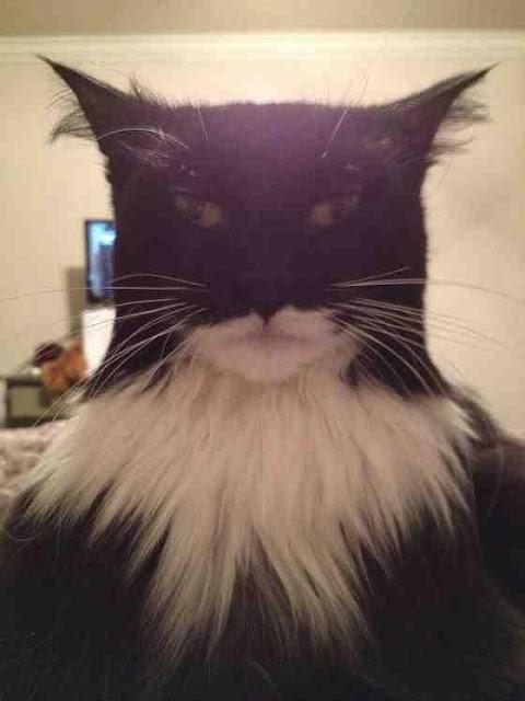 Batman cat image
