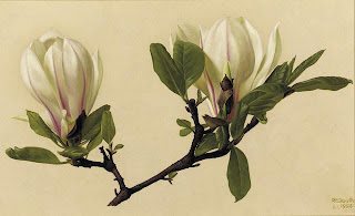 Magnolia by Raymond Booth 