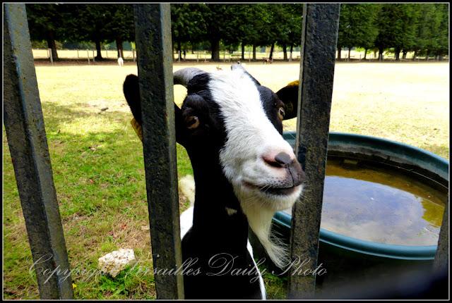 Chèvre goat château de Versailles