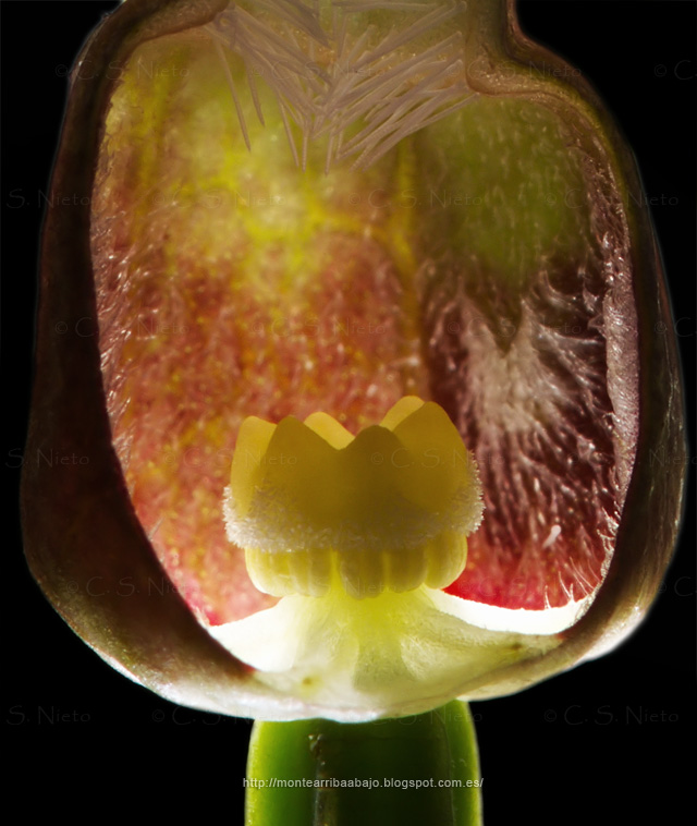Corte longitudinal de flor de Aristoloquia con estigma maduro.