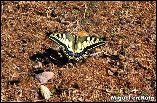 Papilio-Machaón-Cola-de-Golondrina