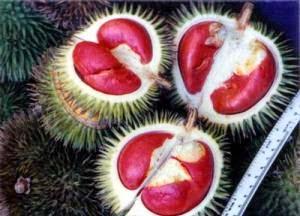 Sungkang / Durian merah (Durio Graviolens)