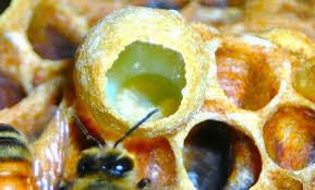 Mũ chúa và sự thật về loài Ong
