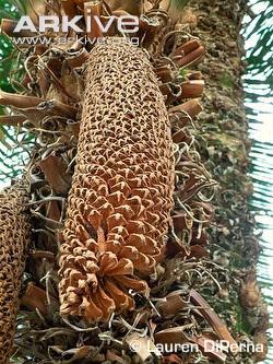 Cycad Cycas circinalis