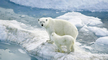 #3 Polar Bear Wallpaper