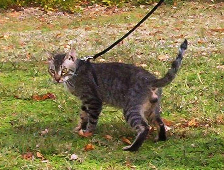 Mengenal Kucing Bramble Kucing Dengan Kepribadian Seekor